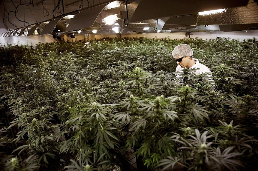 Cannabis plants in Smith's Falls, Ontario, meant for the federally regulated medical cannabis market in Canada. One of the National Research Foundation's thrusts in its Synthetic Biology R&D Programme is to identify cannabinoid genes for the sustaina
