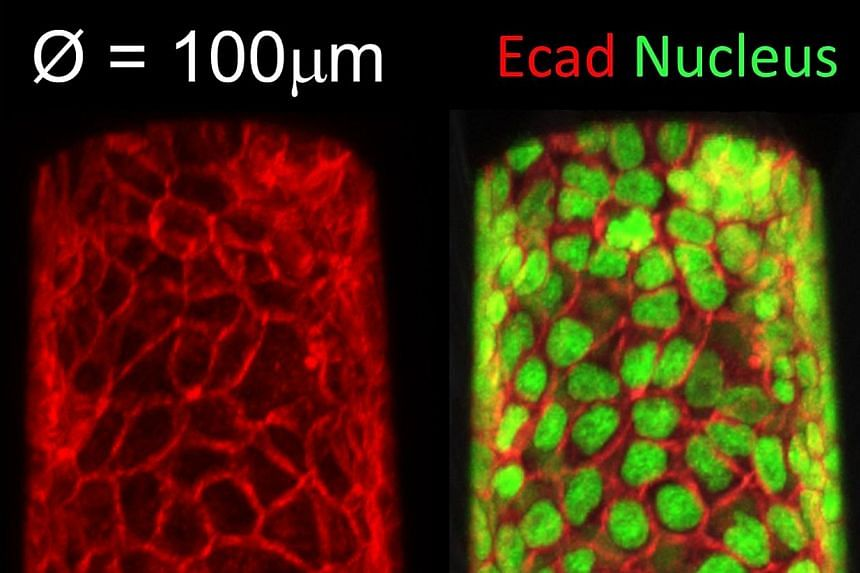 The images show a cross-section of cell tissue, represented by its nuclei, in micro-tubular structures, such as blood vessels. Tissue behaviours are essential for the development of lumens, or the inside spaces of tubular organs. Researchers from the