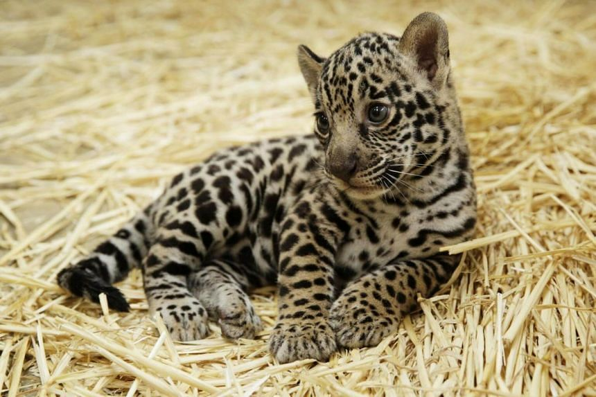 A jaguar cub was born to first-time mother, Aswa, at River Safari on Nov 16, 2017.