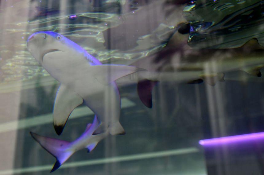 Blacktip reef sharks in the display aquarium of Braces & Implant Dental Centre at 163, Tras Street, on Jan 9, 2018.