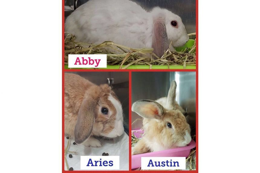 Three rabbits rescued by private rabbit rescue group Bunny Wonderland in Admiralty on Dec 26, 2017.  Eleven rabbits were allegedly abandoned at Admiralty Park and Sentosa in 10 days that month.
