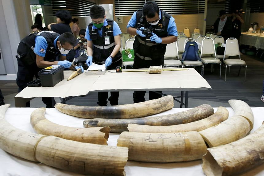 Thailand's forensic officers inspecting confiscated African elephant tusks at the Customs Department in Bangkok yesterday. Thai customs seized a shipment from Nigeria of 31 pieces of smuggled elephant tusks weighing 148kg, with an estimated value of