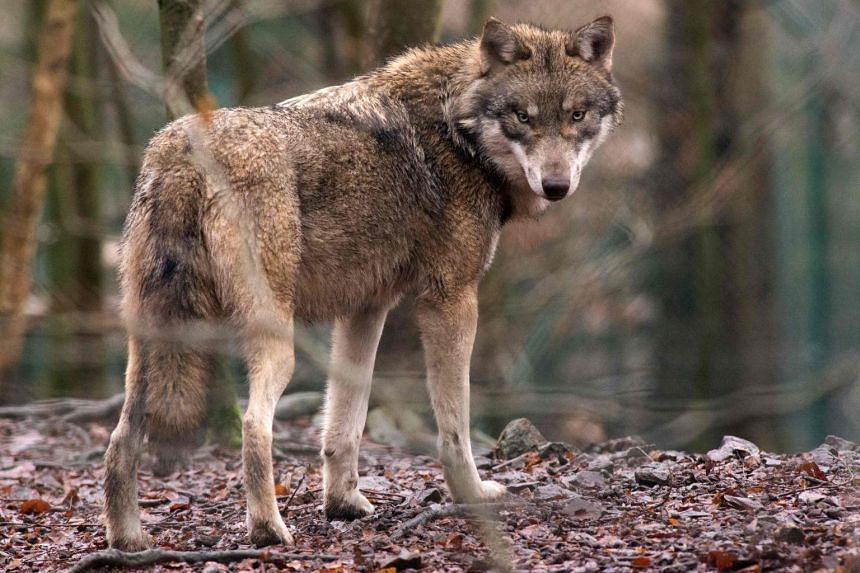 A wolf is seen in its enclosure at the Hexentanzplatz zoo in Thale, northern Germany.