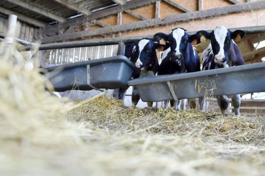 Veals in a milk producer and cattle breeder farm in Sulniac, western France on August 10, 2016.