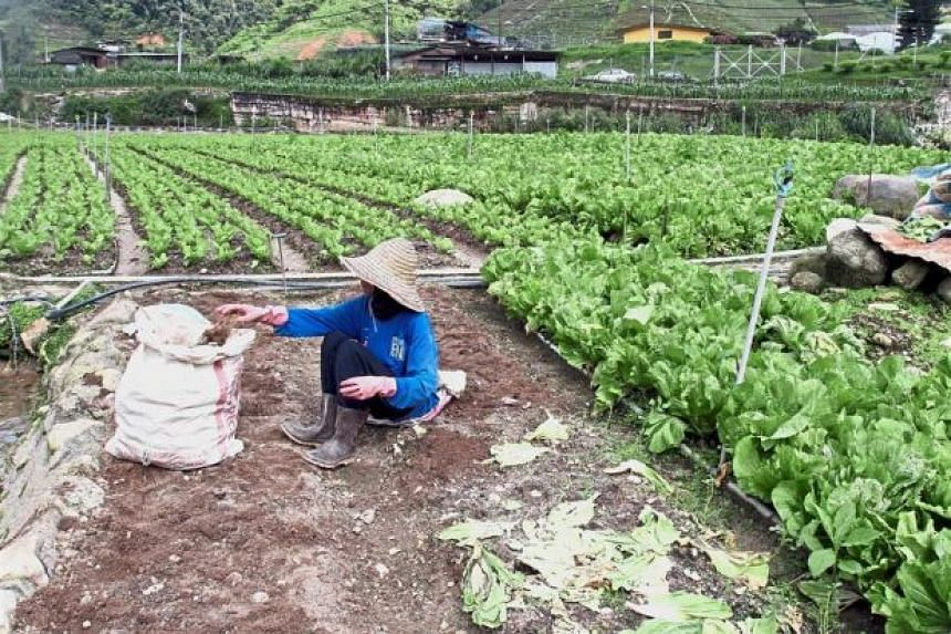 Prolonged rainy and cloudy weather can affect vegetable production by 10 to 15 per cent, said Cameron Highlands Vegetable Growers Association secretary Chay Ee Mong.
