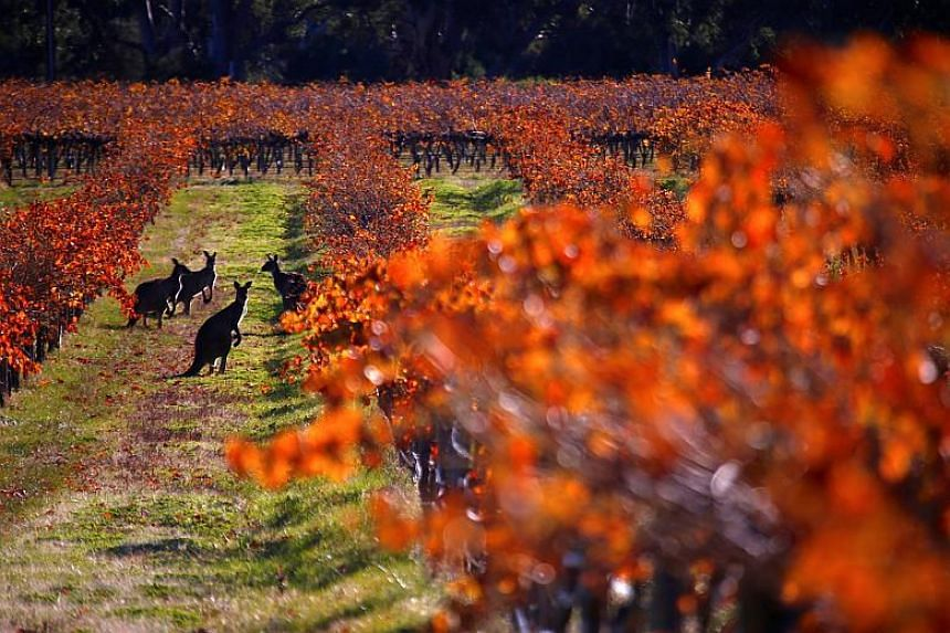 A group of kangaroos in between rows of vines at the Charles Melton vineyard located in the Barossa Valley, north of Adelaide in Australia.