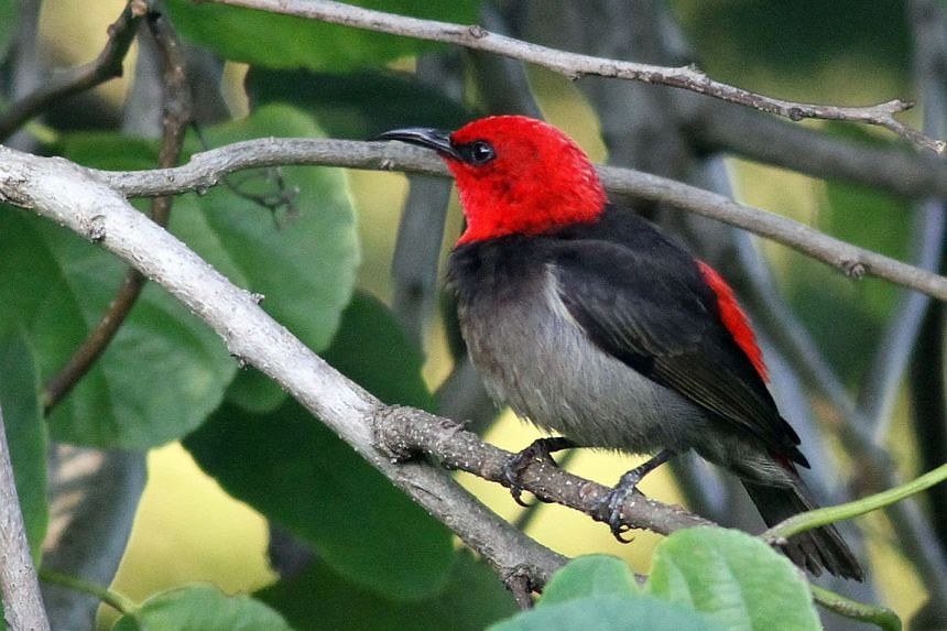 The newly-discovered Rote myzomela is closely related to more than 30 species of small, brightly-colored honeyeaters, such as the Sumba myzomela, found in Indonesia's Pulau Sumba.