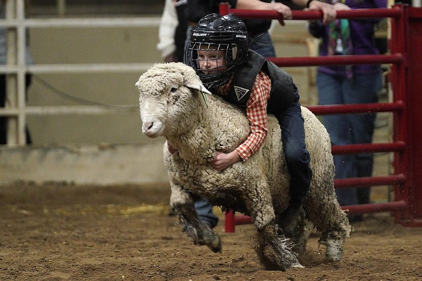 A child hanging on to a sheep during the Mutton Bustin' event at the National Western Stock Show on Tuesday in Denver, Colorado. The popular event, in which children aged five to seven ride sheep across an arena trying to hold on for as long as they