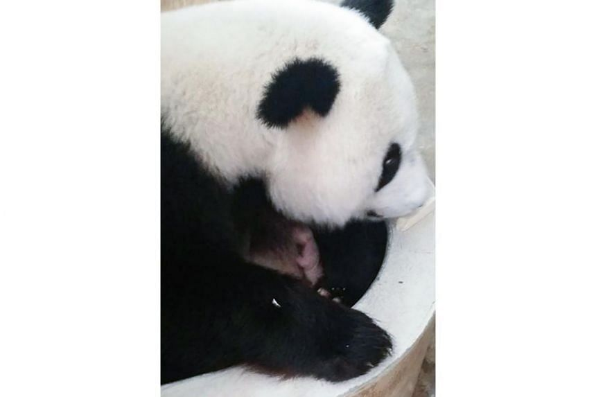 Liang Liang, a female giant panda on loan from China cuddling her cub inside her enclosure at Zoo Negara Malaysia in Kuala Lumpur.