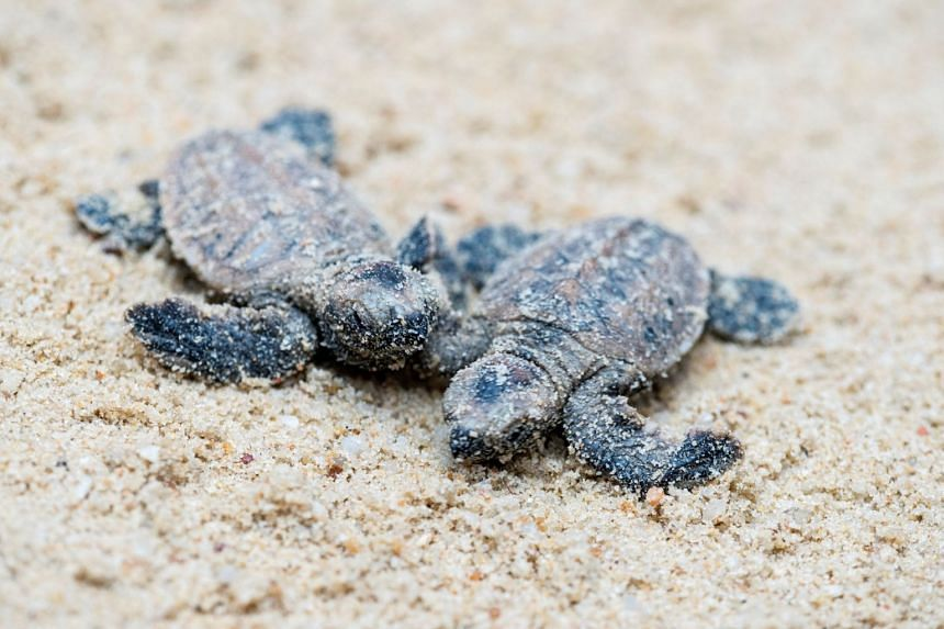 The hatchlings made their way into the waters at Sentosa's Tanjong Beach.