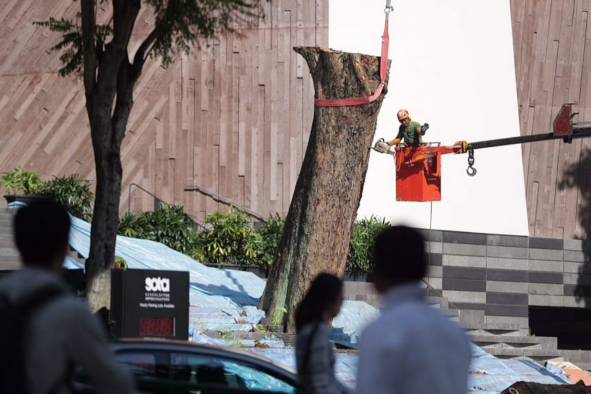 The Angsana tree outside the School of the Arts was cut down on Jan 21, 2018, due to decay. It was estimated to be about 40 years old.