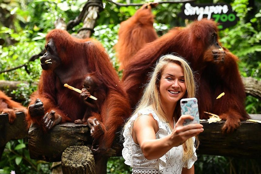 Ukraine's Elina Svitolina taking a selfie with orang utans at the zoo when she was in town for the WTA Finals in October last year.
