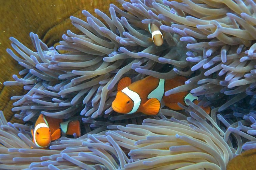 A photo taken on Sept 22, 2014, shows fish swimming through coral on Australia's Great Barrier Reef.