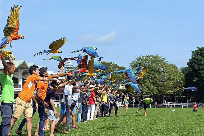 Owners of free-flying parrots cast their birds into flight at the Singapore Polo Club yesterday. The flight was delayed by about half an hour as eagles were spotted flying in the vicinity, and owners kept their birds cool by spraying water droplets o