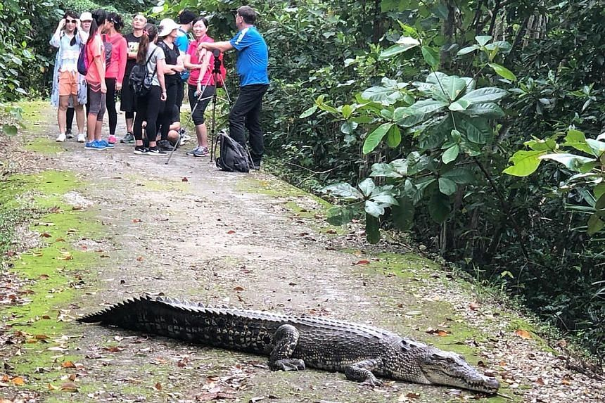 A crocodile lying across a pathway at Sungei Buloh Wetland Reserve last Saturday afternoon. Visitors to the reserve had to wait for up to half an hour before the animal moved away.
