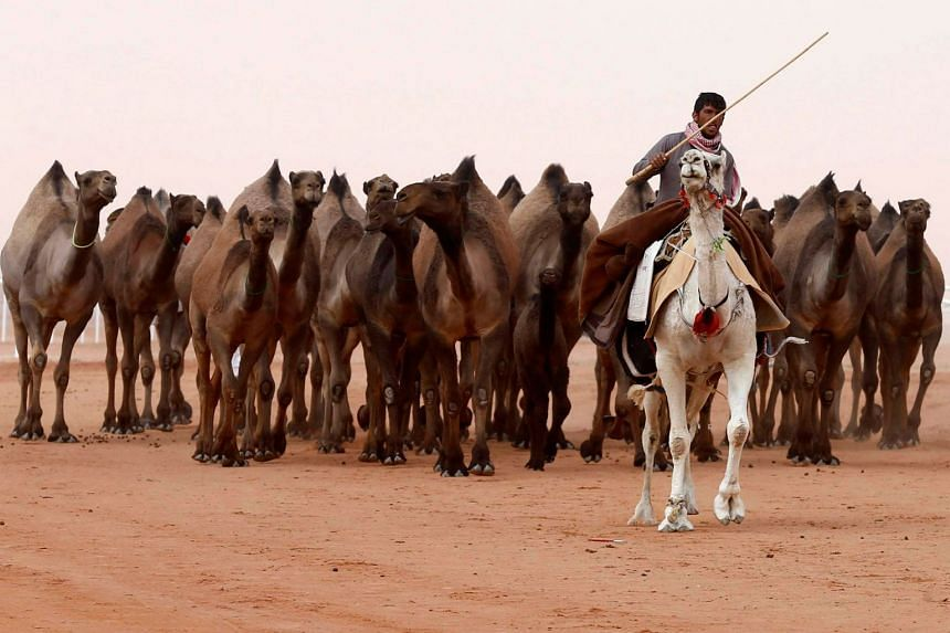 A Saudi man rides a camel he participates in Rimah Governorate, north-east of Riyadh, Saudi Arabia on Jan 19, 2018.