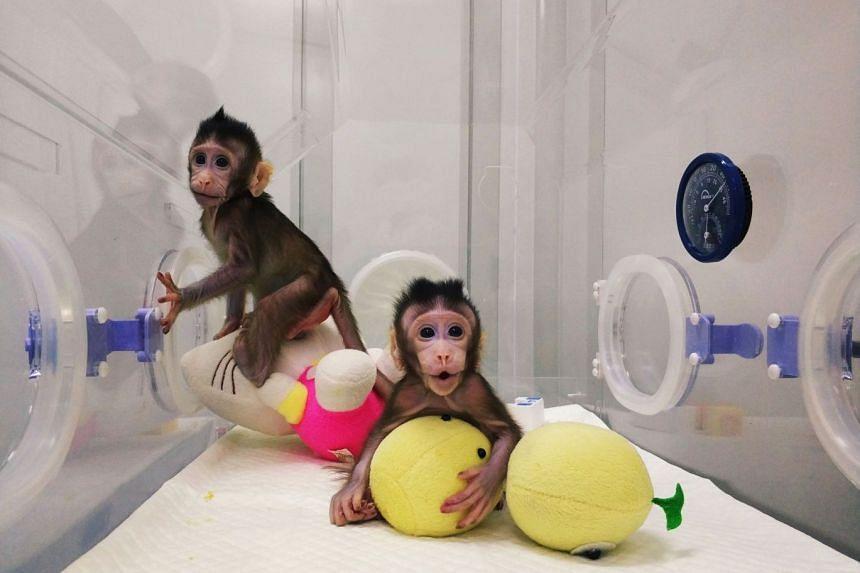Monkey clones Zhong Zhong (left) and Hua Hua at a research institution in Suzhou, Jiangsu, China, on Jan 20, 2018.