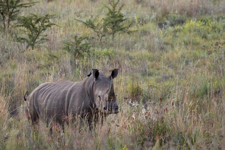 In the last eight years alone, roughly a quarter of the world population of rhinos has been killed in South Africa, home to 80 percent of the remaining animals.