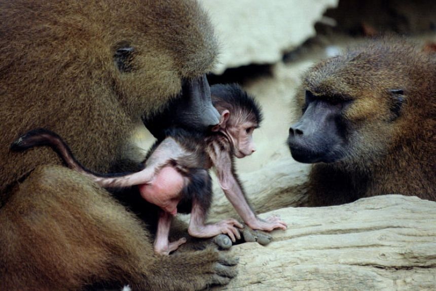 An adult baboon cares for its baby at the Paris Zoological Park on Oct 23, 1995. Some 50 baboons escaped from their enclosure in Paris's main zoo on Jan 26, and most have been recaptured.