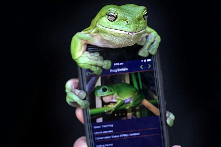The FrogID app project has collected the calls of 14,500 individual frogs since November. With this information, scientists can identify the frog and track the species' population and whereabouts.
