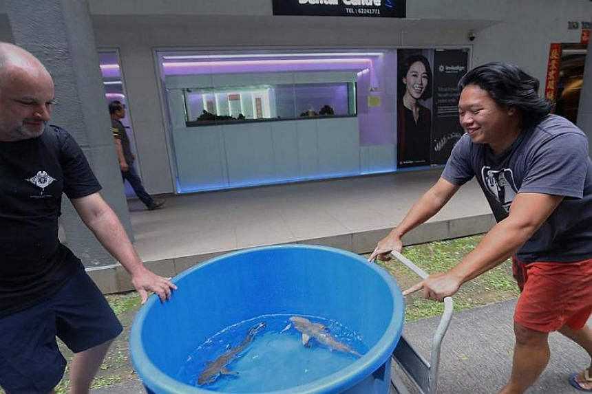 The three juvenile blacktip reed sharks - named Marshall, Evo and Julie - being moved from the dental clinic to a fish farm off Lorong Halus.