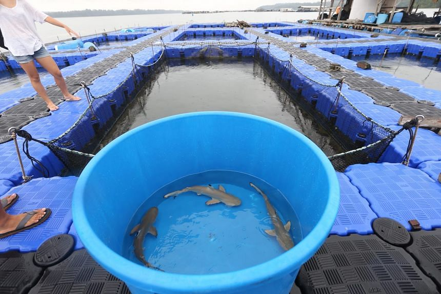 The blacktip reef sharks being moved to the open sea pen in a fish farm.