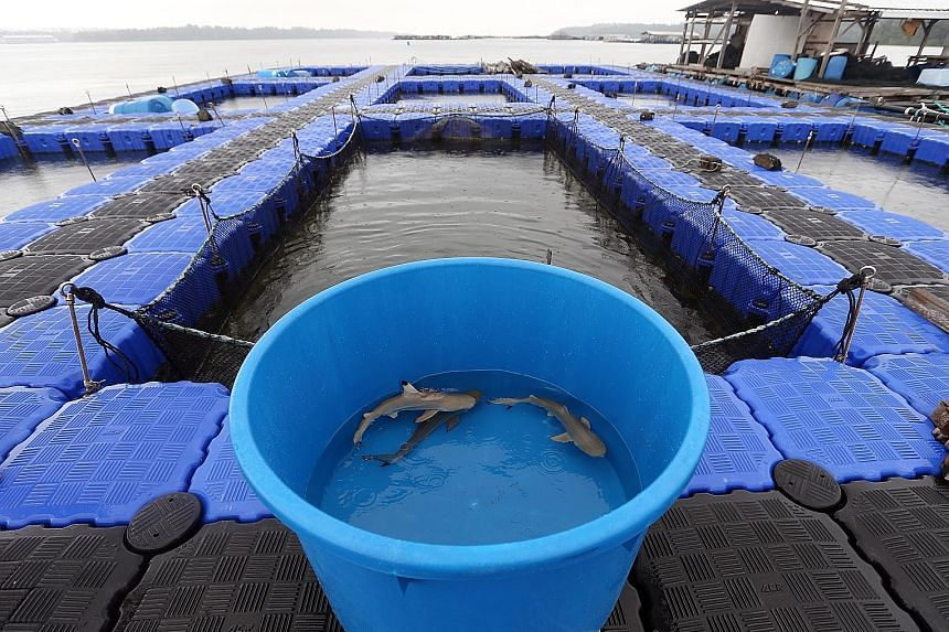 OnHand Agrarian owner Shannon Lim trying to bring up one of the sharks to a transfer tub. He is confident the sharks will do well in the Johor Strait. The three blacktip reef sharks being moved to an open sea pen in a fish farm in the Johor Strait, a
