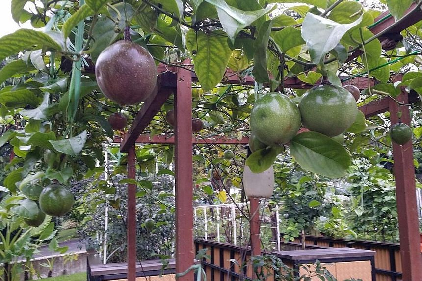 Passion fruit (left) growing on a handmade trellis and a banana plant in bloom (above) at retiree Emily Fong's plot in HortPark, which she has been leasing for more than a year. As she visits her plot only once a week, Mrs Fong has invested in a batt