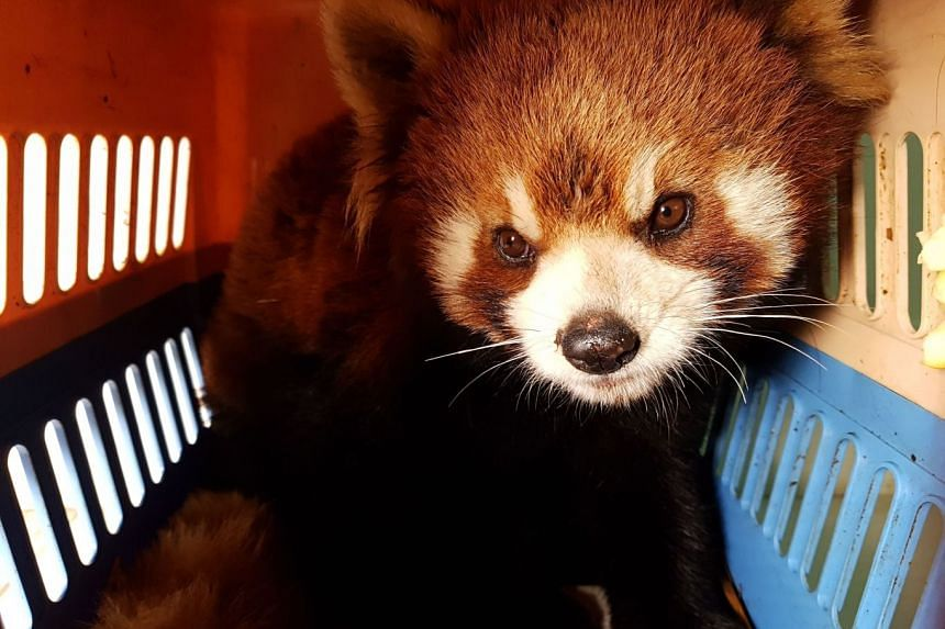 Image of: Cute One Of Three Red Pandas Being Transported To The Free The Bears Sanctuary After Being Confiscated The Straits Times Red Panda Rescue In Laos Stokes Fears Of Endangered Species Being