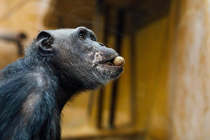 Chimpanzees are social scorekeepers, episodic warriors and number ninjas. And the numeric working memory of young chimpanzees has been found to be astonishing.