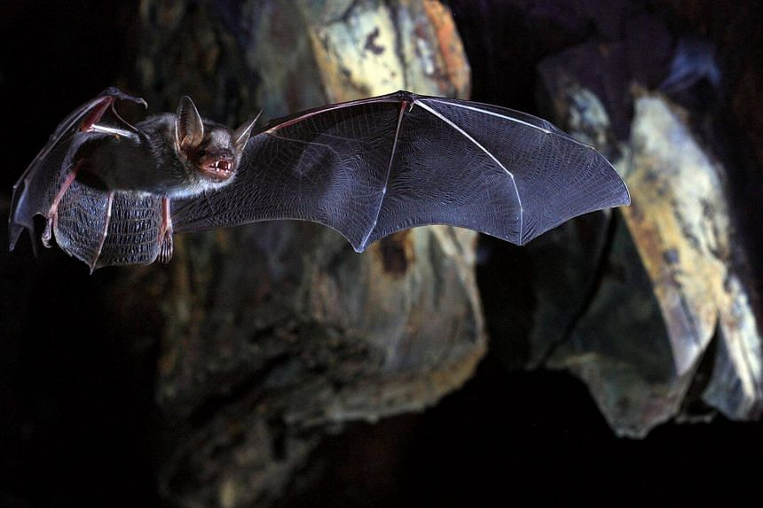 Based on body size, the greater mouse-eared bat would be predicted to have a maximum lifespan of four years.