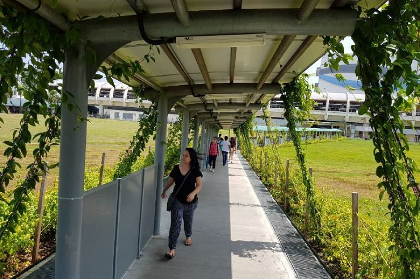 A flourishing trellis on a covered linkway to Pasir Ris MRT. NParks has greened 27 such linkways to date and plans to cover more in the next three to five years.