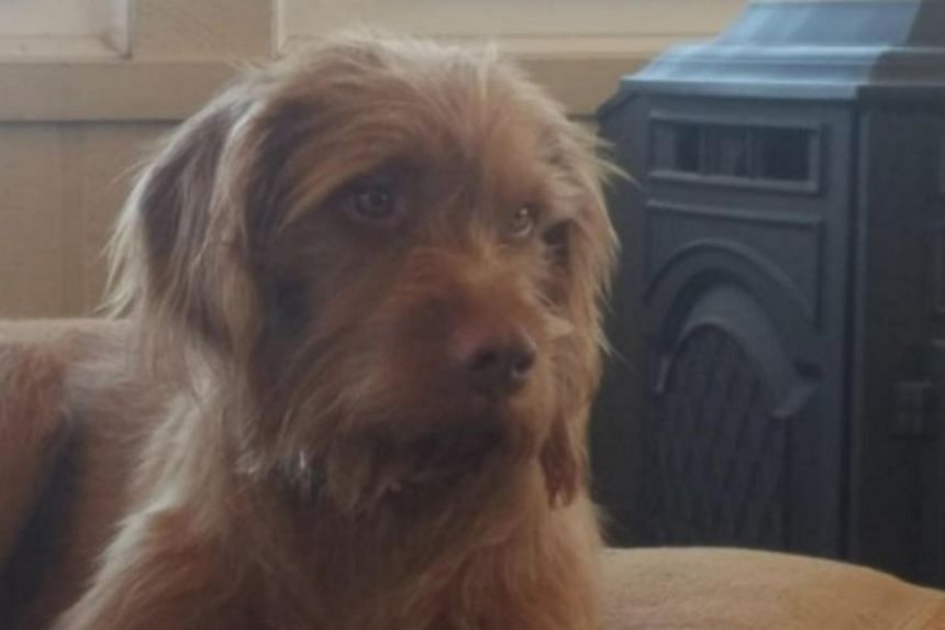 Angus, a 3-year-old wire-haired Vizsla dog owned by Terran Woolley, is pictured in Hutchinson, Kansas.