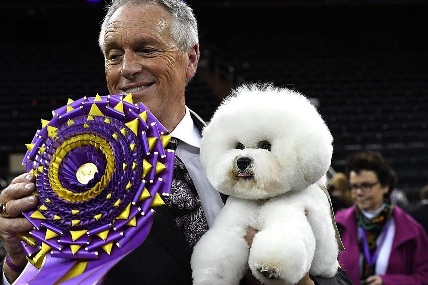 When Flynn, a bichon frise, won best-in-show honours at the 142nd Westminster Kennel Club Dog Show on Tuesday night, it acted as if it had been there before, jumping straight onto a raised purple platform in the centre of New York's Madison Square Ga