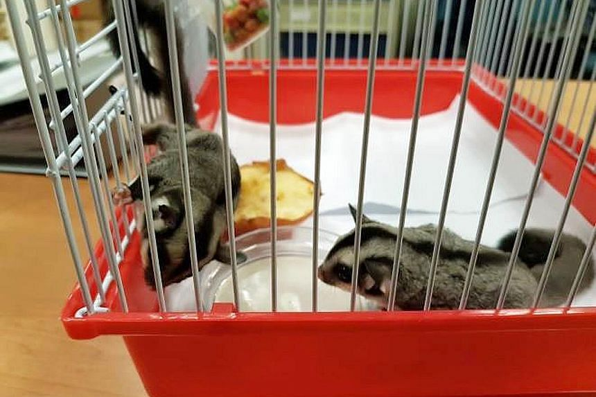 Two sugar gliders, nocturnal gliding marsupials that live in trees, were found in a pouch in a car entering Singapore on Wednesday. The driver and his female passenger, both Singaporeans, have been referred to the Agri-Food and Veterinary Authority.