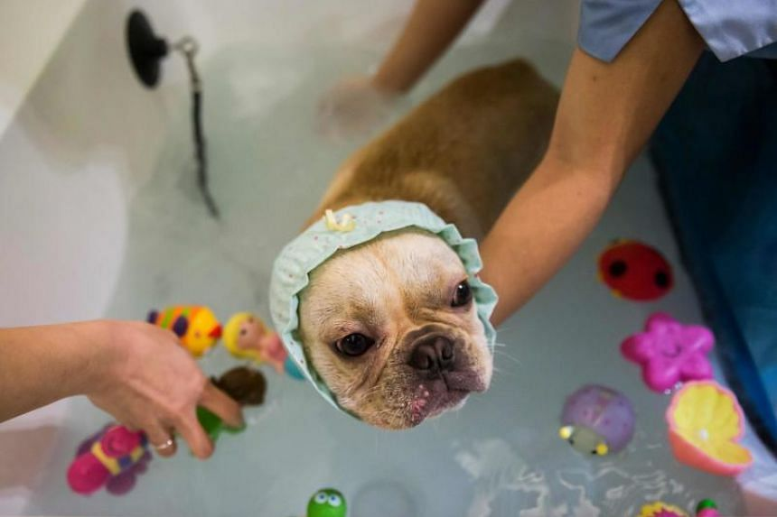 A French bulldog named Bao gets a bath while staff put bath toys into the water during a spa treatment session at a pet groomer in Hong Kong.