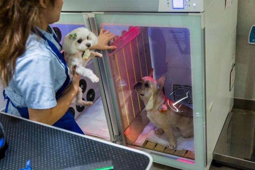 A French bulldog named Bao inside a booth that provides oxygen during a spa treatment session at a pet groomer in Hong Kong.