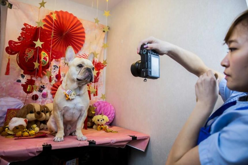 A French bulldog named Bao gets a photo taken for its owner after receiving a spa treatment session at a pet groomer in Hong Kong.