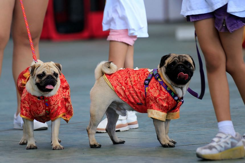 PHILIPPINES: Pooches in Manila all ready to usher in their year in Chinese-style tops.