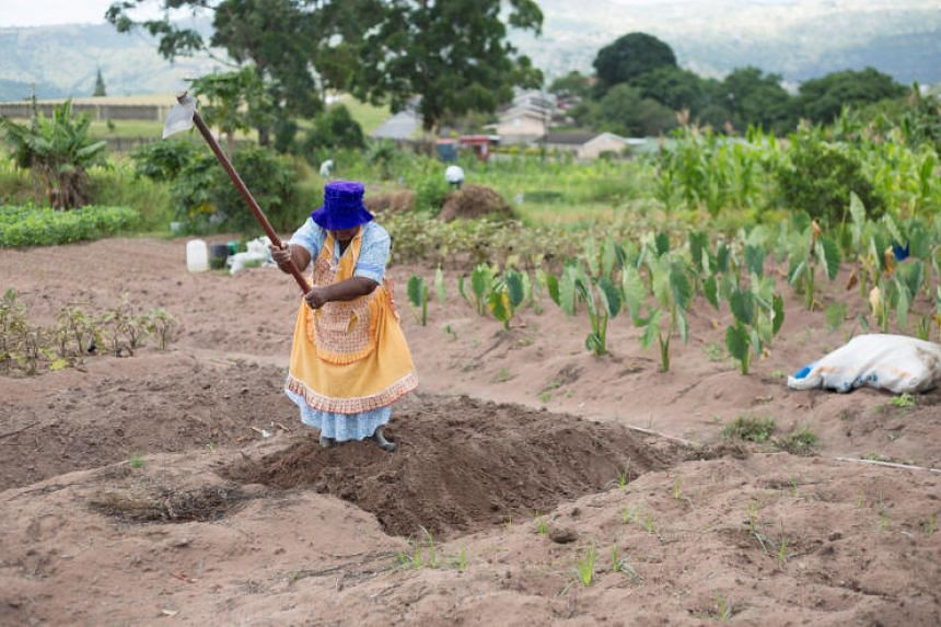 A woman works in a communal vegetable garden in KwaNdengezi, South Africa on Jan 31, 2018.