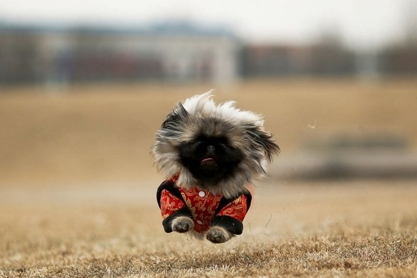 A long-haired imported Pekingese belonging to Beijing native Qian Hao runs in a park in Beijing on Feb 8, 2018.