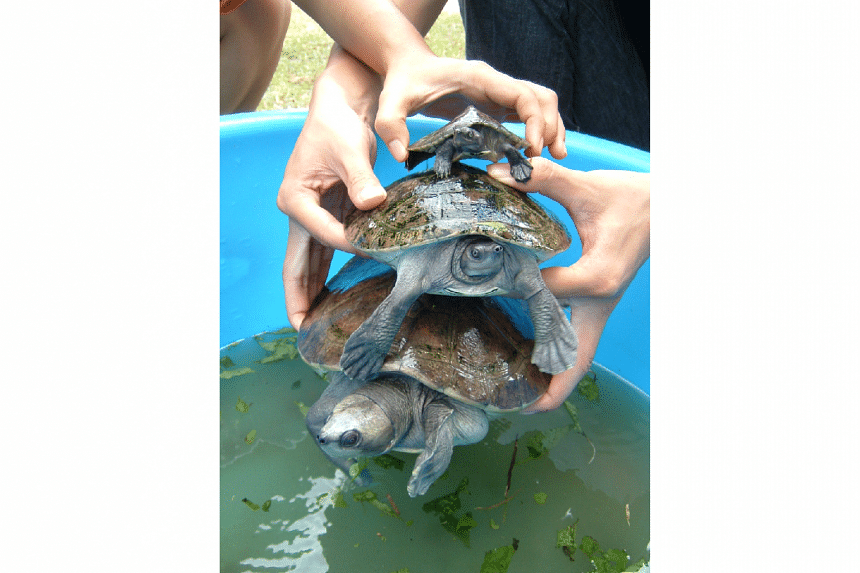 The southern river terrapin is one of the world's 25 most endangered freshwater turtles.