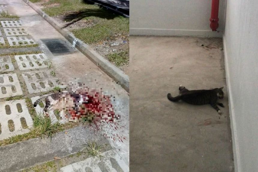 A dead cat (left) in a carpark at Block 367, Yishun Ring Road, and another dead cat found sprawled at odd angles in a stairwell at Block 147, Yishun Street 11.