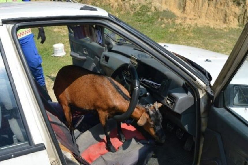 The goat's horn got hooked in the steering wheel, causing it to be trapped, said Kuala Pilah Civil Defence Department Head of Operations Zulkarnain Basiron.