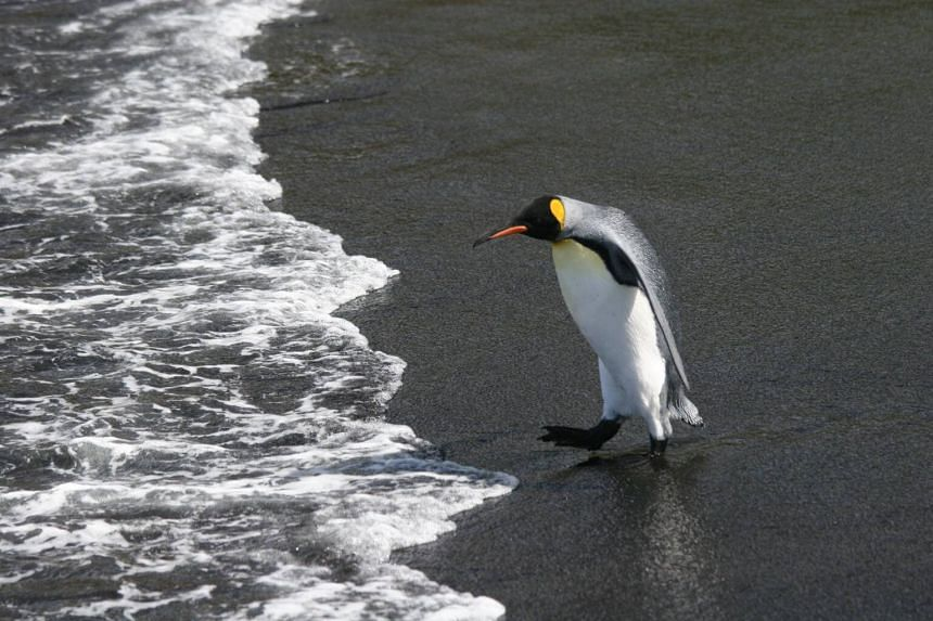 As climate change drives away fish and squid upon which the king pengiuns depend, the flightless creatures must swim farther afield to find sustenance for their hungry hatchlings on land.