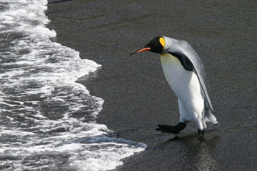 A king penguin in the Crozet archipelago. Researchers calculate that 1.1 million king penguin couples will be forced to abandon their current breeding grounds - mainly on the islands of Crozet, Prince Edward and Kerguelen - within a matter of decades