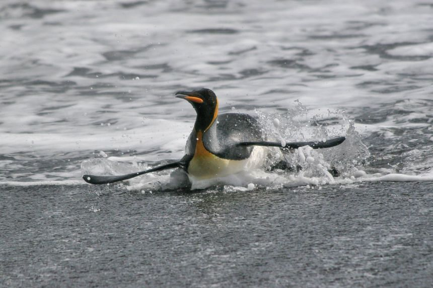 A king penguin from Possession Island in the Crozet archipelago.
