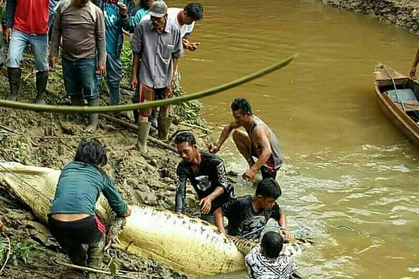 Indonesian authorities recover a crocodile after they shot and killed the 6m-long creature close to a riverbank in Marukangan on March 2, 2018.