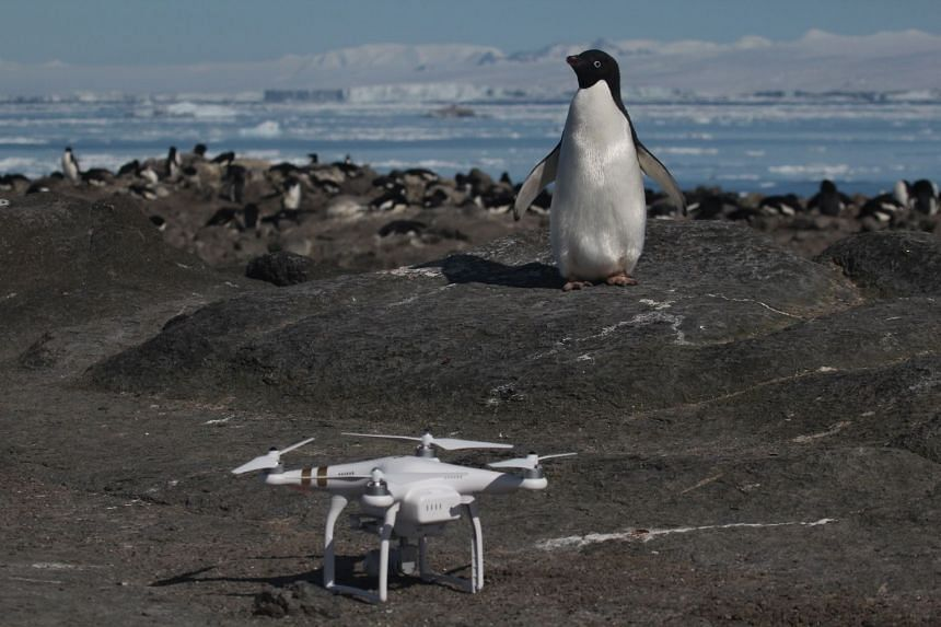 An Adelie penguin looks at a drone at breeding colony on Heroina Island, Danger Islands, Antarctica.