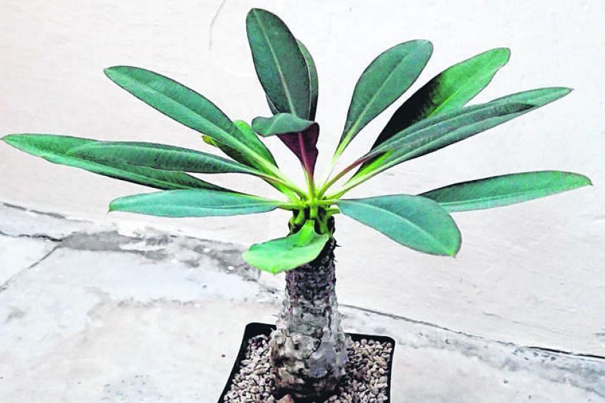 Euphorbia pachypodioides.